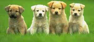 k-9 kuts dog groomer weston, FL two puppies