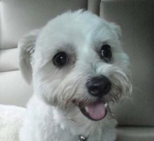 K-9 kuts weston dog groomer cute white dog