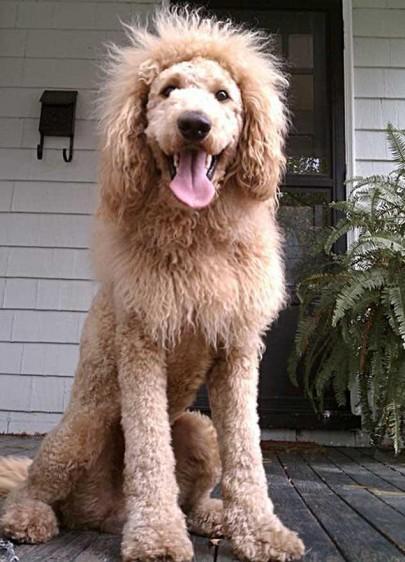 k-9 kuts weston dog groomer lion dog