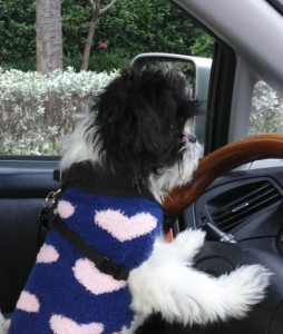 dog driving to weston's favorite groomer, K-9 Kuts